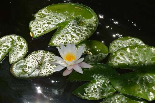 Water Lily White Flower Plants Pond