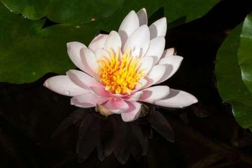 Water Lily Nymphaea Lake Rose Aquatic Plant Petals