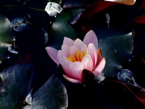 Water Lily Lotus Lotus Blossom Lotus Flower Flowers