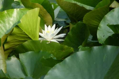 Water Lily White Flower Blossom Bloom Nature