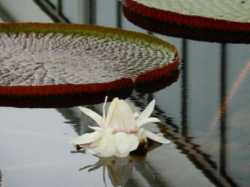 Water Lily Reflection Leaves White Aquatic Bloom