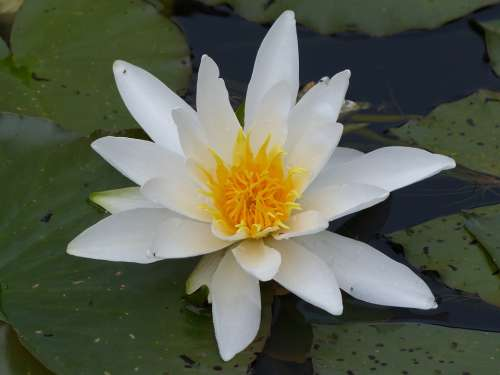 Water Lily Pond Plant Water Bloom Spring