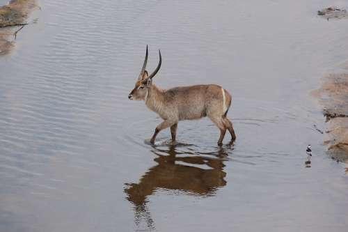 Waterbuck Safari Africa Antelope