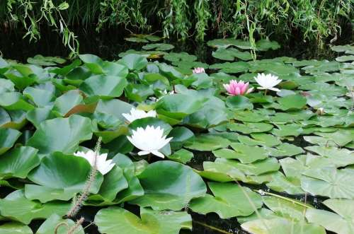 Waterlily Lagoon Lily