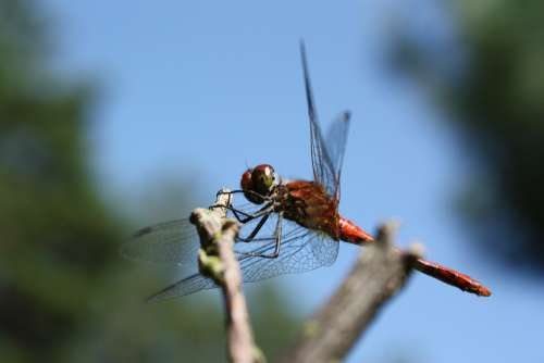 Ważka Insect Common Pałatka Abdomen Trunk Eyes