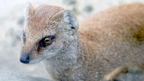 Weasel Animal Wild Wildlife Nature Cute Fur