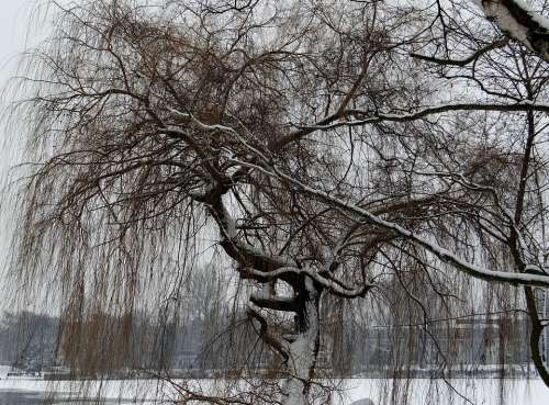 Weeping Willow Ripe Wintry Tree Branches Branch