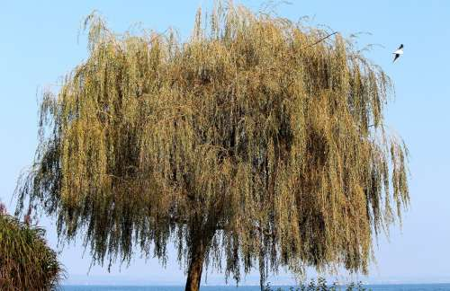 Weeping Willow Pasture Tree Autumn Bank