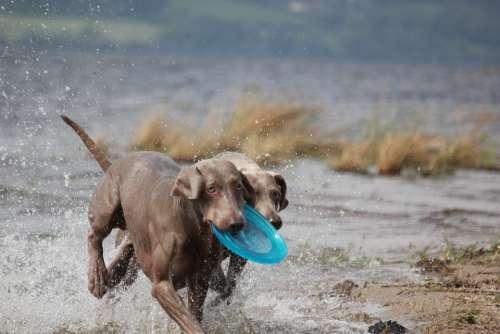 Weimaraner Animal Dog Snout Water Wet Fur Waters