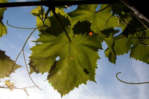 Weinbaetter Winegrowing Entwine Green Backlighting