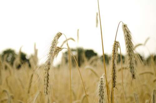 Wheat Wheat Field Wheat Spike Spike Cereals Grain
