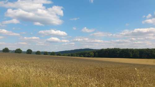 Wheat Wheat Field Wheat Spike Spike Cereals Grain