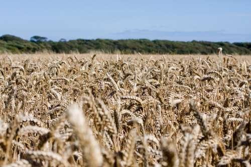 Wheat Wheat Field Crops Grain Farm Farm Land