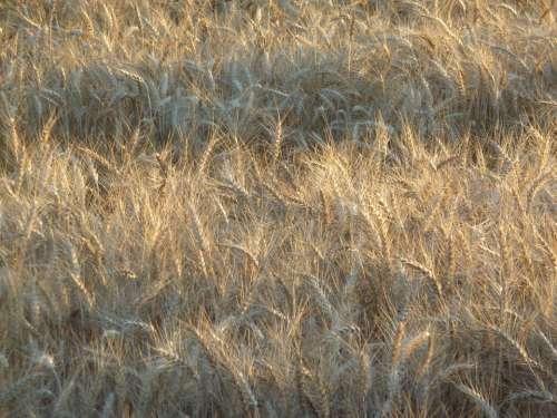 Wheat Field Food Farm Harvest Crop Grain