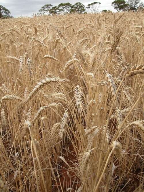 Wheat Wheat Field Cereal Landscape Agriculture