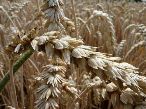 Wheat Cornfield Thanksgiving Wheat Field Spike
