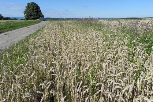 Wheat Field Cereals Spike Grain Cornfield