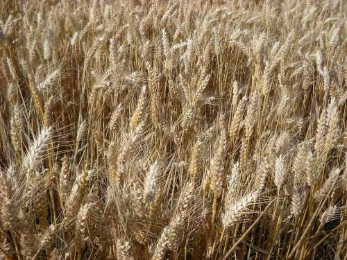 Wheat Cereals Agriculture