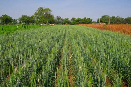 Wheat Field Unripe Crop Agriculture Farm Cereal