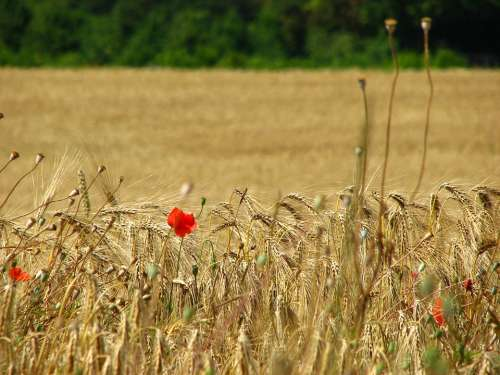 Wheat Field Spike Wheat Cornfield Poppy Cereals