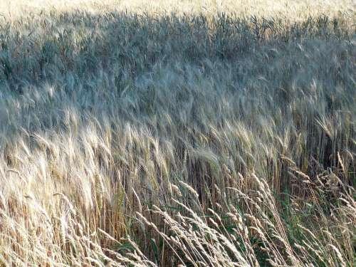 Wheat Field Wheat Field Harvest Cereals Cornfield