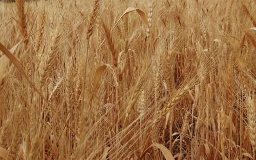 Wheat Spikes Ripe Grains Cereals Agriculture India