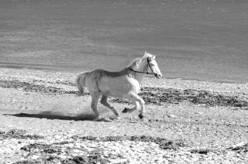 White Galloping Run Action Animal Horse Mammal