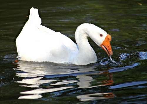 White Goose Swimming Animal