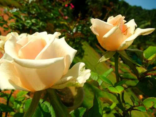 White Rose Flower Beauty Beautiful Floral Nature