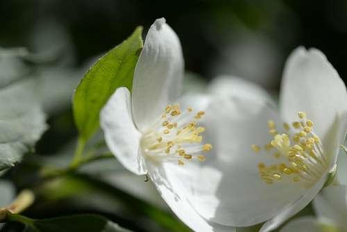 White Bloom Blossom Bloom Plant Spring Flora