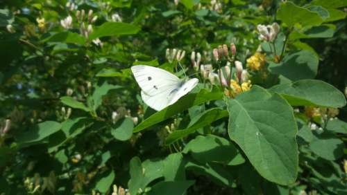 White Butterfly Spring Bush