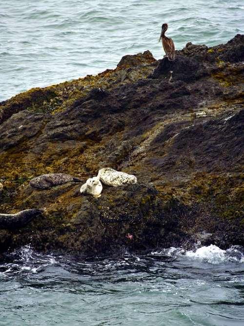 White Seals Animals Sea Pacific Nature Pelican