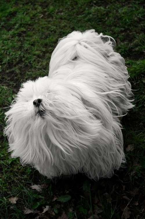 White Small Dog Animals Pet Hair Guard Hair Nose