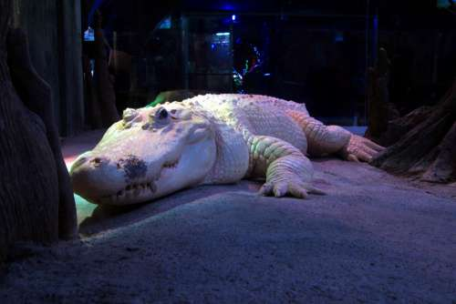 White Alligator Albino Crocodile Zoo Reptile