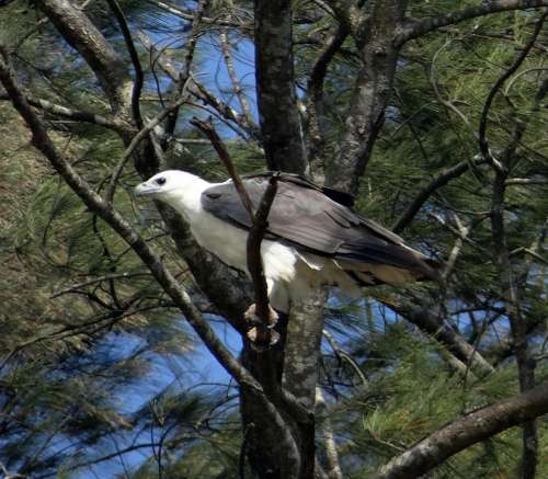 White-Bellied-Sea-Eagle Eagle Raptor Bird