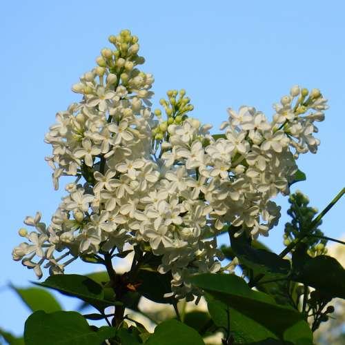 White Flower Inflorescence Lilac Syringa Plant