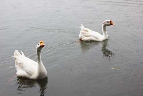 White Goose Pond Animal Water