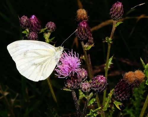 White Ling Butterfly Thistles Blossom Bloom
