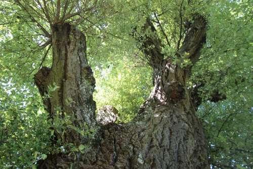 White Poplar Poplar Deciduous Tree Tree Branches