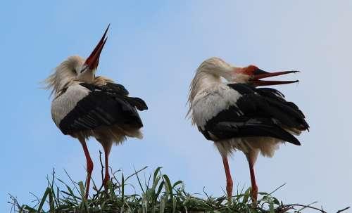 White Storks Stork White Stork Storks