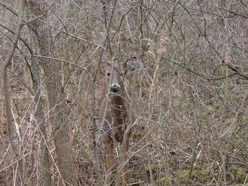 White Tailed Deer Hiding Leave Less Bushes Animal