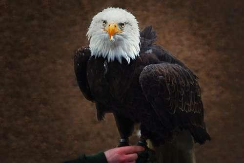 White Tailed Eagle Falconry Raptor Bald Eagle