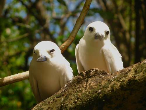 White Tern Terns Birds Branch Limb Tree Perch