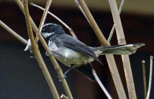 White-Throated Fantail Flycatcher Rhipidura Albicollis