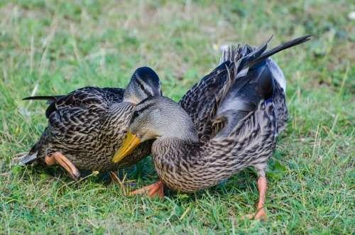 Wild Animals Duck Birds Detail Close- Up Grass