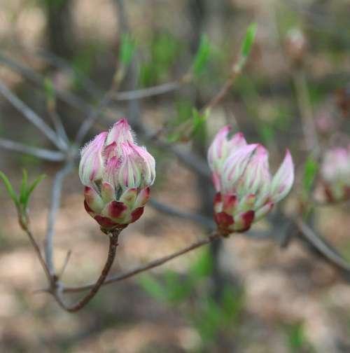 Wild Mountain Laurel Flower Buds Spring