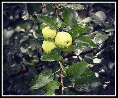 Wild Apples Tree Fruit Green Fresh Leaf