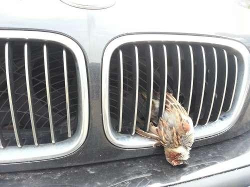 Wild Accident Bird Vehicle Grill Sparrow Sperber