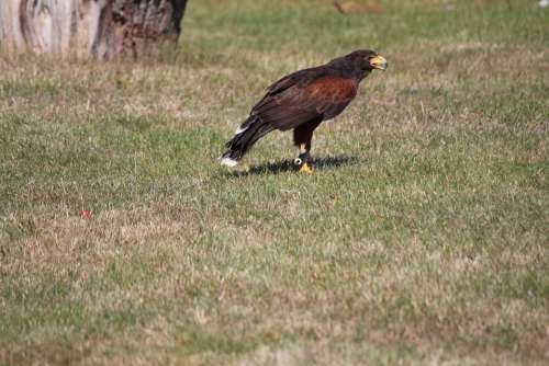 Wild Bird Raptor Harris Hawk Ground
