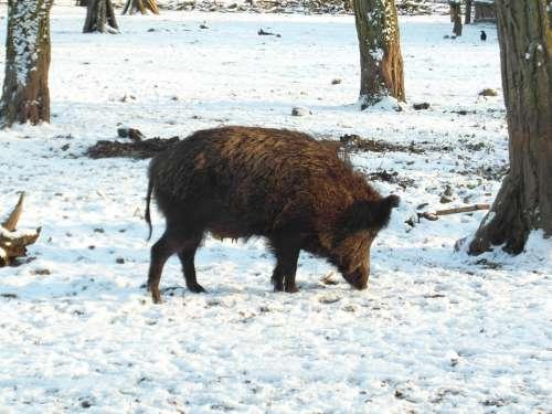Wild Boar Boar Winter Forest Wildlife Park